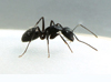 Carpenter_Ant_2